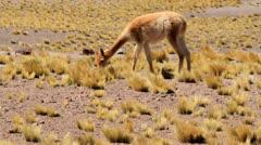 Deer grazing Stock Footage
