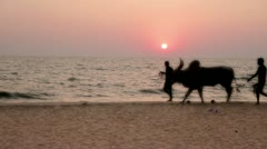 Men and cow in silhouette walking along scenic beach at sunset - stock footage