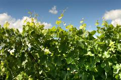Leaves and new growth of a grape vine Stock Photos