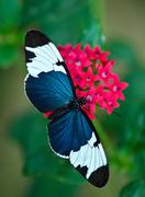 Stock Photo of Cydno Longwing butterfly (Heliconius cydno)