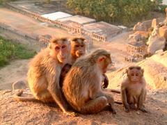 A monkey family gathered on a rock near temple, hampi, india Stock Photos