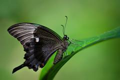 Emerald Swallowtail butterfly - stock photo