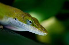 Stock Photo of Green Anole lizard