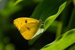 Cloudless Sulphur butterfly (phoebis sennae) - stock photo