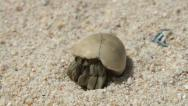 Stock Video Footage of Hermit Crab (macro video)