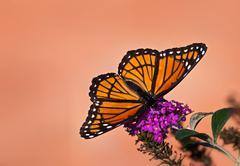 Viceroy butterfly (limenitis archippus) - stock photo