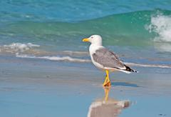 Seagull walking by the foreshore Stock Photos