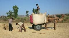 Loading straw onto camel-driven cart, Pushkar, Rajasthan, India - stock footage