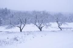 three snow covered trees. - stock photo