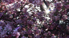 Pink crab apple or cherry tree blossoms Stock Footage