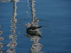 Seagull floats amid boat mast reflections Stock Photos