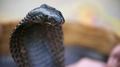 Close-up portrait of black cobra Stock Footage