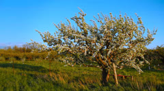 Fruit Tree Blossoms 1 - stock footage
