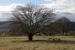 grazing under the tree - stock photo