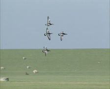 Migrating Barnacle goose in flight, land behind a Dutch sea dike Stock Footage