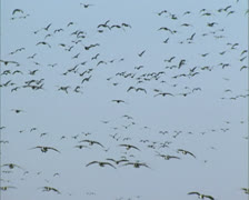Flock of migrating Barnacle geese (Branta leucopsis) in flight Stock Footage