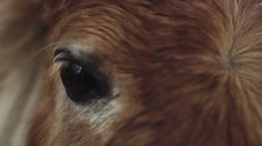 Shetland Pony Eye Closeup Cinematic 2 Stock Footage