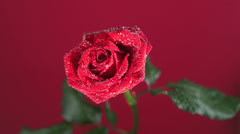 Red rose with dew drops shaking Stock Footage