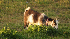 Goat Grazing Stock Footage