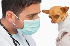 Vet holding chihuahua and wearing protective mask Stock Photos
