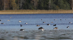 Geese swimming on a lake pluming themselves Stock Footage