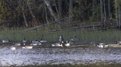 Geese swimming on a lake searching food Stock Footage