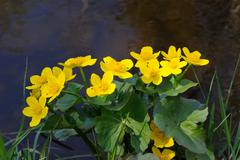 Marsh marigold Stock Photos