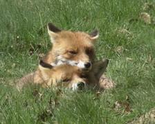 Red fox (vulpes vulpes) pari ruoho muualla Arkistovideo