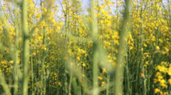 Rapeseed field Stock Footage