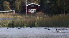 Geese swimming on a lake in front of cottage Stock Footage