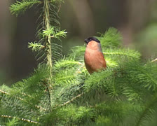 Bullfinch (pyrrhula pyrrhula) male perched on branch and flies off Stock Footage