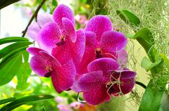 Vanda pink orchids Stock Photos