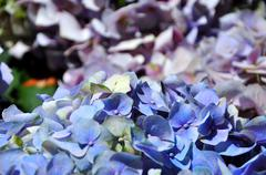 Hydrangea flowers blue and purple Stock Photos