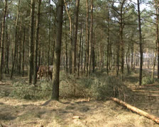 Horse logging in pine forest - wide shot Stock Footage