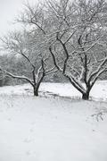 snow covered trees in a field. - stock photo