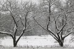 Snow covered trees in a field. Stock Photos