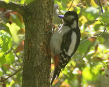 Great spotted woodpecker (dendrocopos major ) on tree trunk Stock Footage