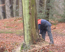 Cutting down a tree with a chainsaw Stock Footage