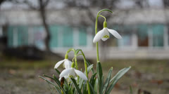 First spring flowers snowflake snowdrop (leucojum vernum) garden Stock Footage