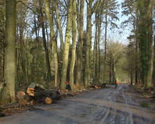 cutting down a tree, tree falls down - on camera - stock footage
