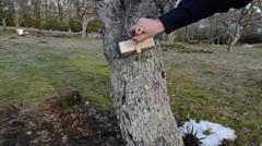 Man whitening apple fruit tree trunk bark garden spring works Stock Footage