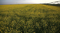 crane shot of rapeseed field - stock footage
