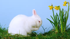 White cute bunny scratching his nose next to daffodils Stock Footage