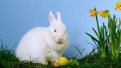 Fluffy white bunny sniffing easter eggs besides daffodils Stock Footage