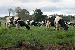 Holstein friesian cows Stock Photos