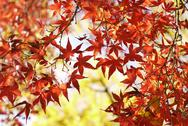 Stock Photo of autumn maple leaves