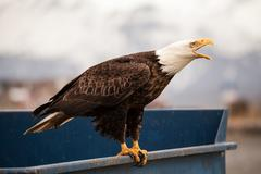 Eagle on a trash dumpster - stock photo