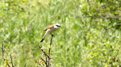 Red backed Shrike Stock Footage