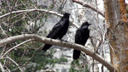 Stock Video Footage of Couple of North American Black Ravens on a tree branch