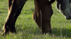 Horses Graze HD Stock Footage